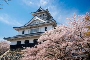 満開の桜と長浜城の写真素材 [FYI03184636]