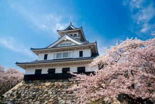 満開の桜と長浜城の写真素材 [FYI03184640]
