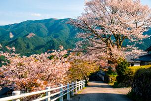 桜咲く三多気の山村の写真素材 [FYI03184656]