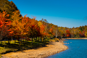 女神湖湖畔紅葉の並木の写真素材 [FYI03184880]
