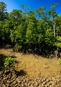 島尻のマングローブ林の写真素材 [FYI03184986]