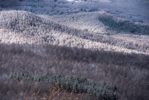 白樺高原カラマツ林雪化粧の写真素材 [FYI03185033]