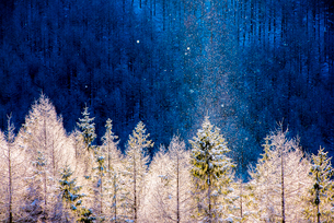霧ヶ峰高原 朝焼けに染まる針葉樹林とダイヤモンドダストの写真素材 [FYI03185163]