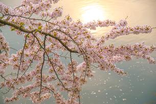 彦根城夕焼け映す内堀と桜の写真素材 [FYI03185243]