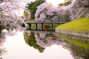 彦根城内堀の桜並木の写真素材 [FYI03185249]