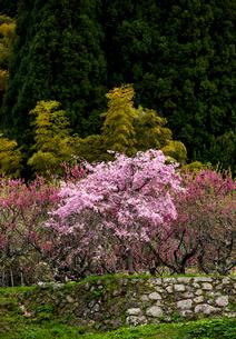 又兵衛屋敷跡に咲く桜の写真素材 [FYI03185287]
