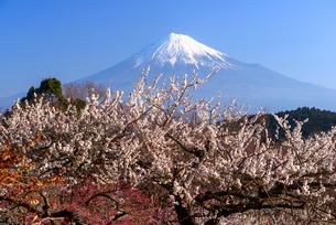 岩本山公園より白梅と富士山の写真素材 [FYI03185316]