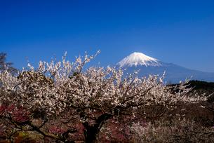 ウメの花咲く岩本山公園より富士山の写真素材 [FYI03185319]