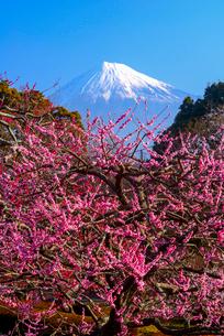 岩本山公園より紅梅と富士山の写真素材 [FYI03185322]