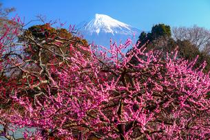 岩本山公園より紅梅と富士山の写真素材 [FYI03185323]