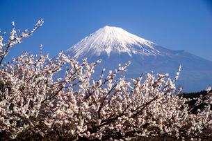 ウメの花咲く岩本山公園より富士山の写真素材 [FYI03185324]