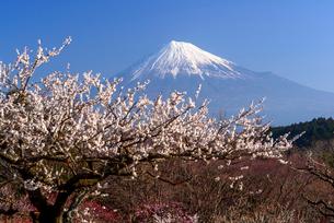 ウメの花咲く岩本山公園より富士山の写真素材 [FYI03185326]