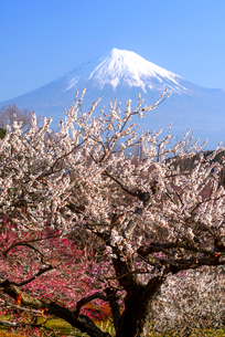 岩本山公園より白梅と富士山の写真素材 [FYI03185340]