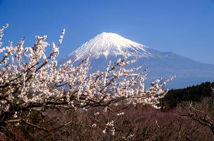 ウメの花咲く岩本山公園より富士山の写真素材 [FYI03185345]