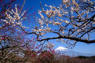 岩本山公園の梅と富士山の写真素材 [FYI03185353]