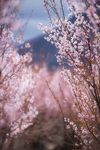 桜林の写真素材 [FYI03185394]