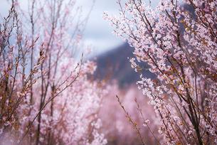 桜林の写真素材 [FYI03185397]