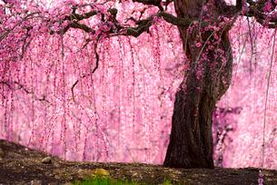 鈴鹿の森庭園 巨木のしだれ梅満開の写真素材 [FYI03185446]