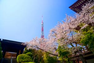 桜と東京タワーの写真素材 [FYI03185470]