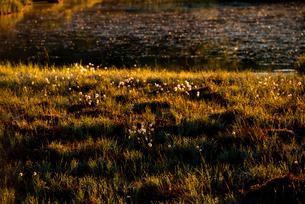朝日に輝く八島ヶ原湿原 ワタスゲの写真素材 [FYI03185516]