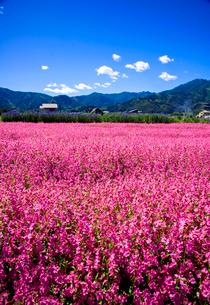 フクロナデシコのお花畑の写真素材 [FYI03185537]