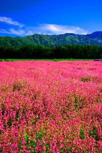 フクロナデシコのお花畑の写真素材 [FYI03185539]