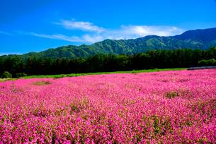 フクロナデシコのお花畑の写真素材 [FYI03185546]