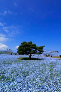 ひたち海浜公園のネモフィラの写真素材 [FYI03185841]