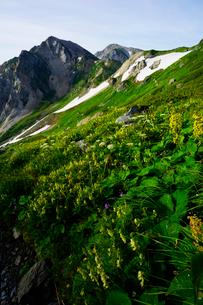 白馬岳山頂付近のお花畑の写真素材 [FYI03186040]
