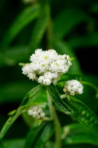 白馬岳の大雪渓沿いに咲く高山植物の写真素材 [FYI03186051]