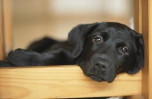あごを乗せた黒い子犬(ラブラドール)の写真素材 [FYI03186300]