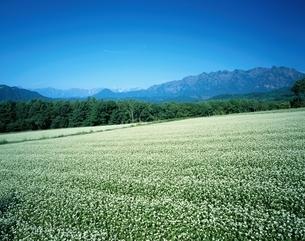 北アルプス連峰と戸隠連峰とソバ畑   長野県の写真素材 [FYI03187087]