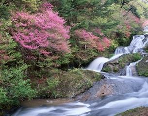 満開のヤシオツツジと竜頭の滝    日光市 栃木県の写真素材 [FYI03187100]