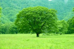 新緑の大樹  戸隠村 長野県の写真素材 [FYI03187132]