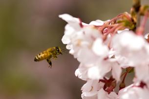 ミツバチと桜の写真素材 [FYI03187220]