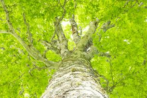 ブナの木の写真素材 [FYI03187335]