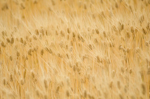 大麦畑の写真素材 [FYI03187400]