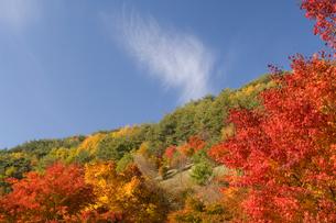もみじ湖の紅葉したモミジの写真素材 [FYI03187423]