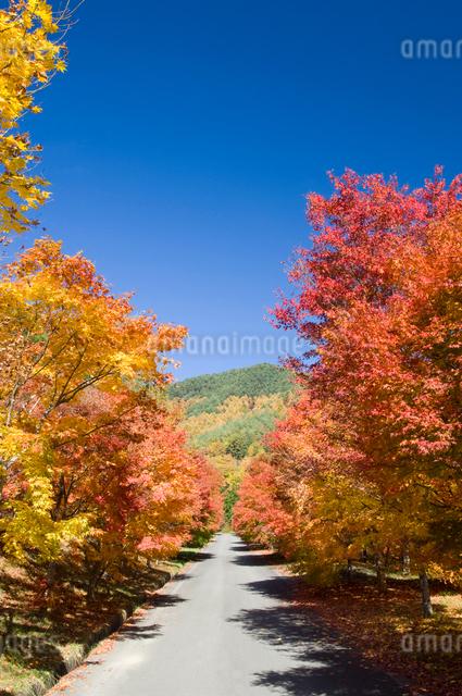 もみじ湖の紅葉したモミジと道の写真素材 [FYI03187428]