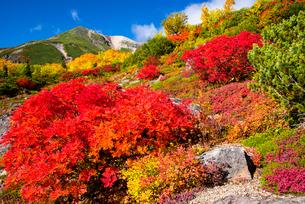 紅葉のナナカマドと乗鞍岳の写真素材 [FYI03187561]