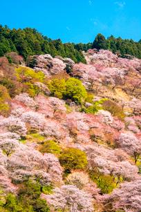 シロヤマザクラ咲く吉野山の写真素材 [FYI03187779]