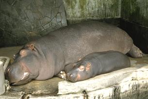 添い寝するカバの親子の写真素材 [FYI03188828]
