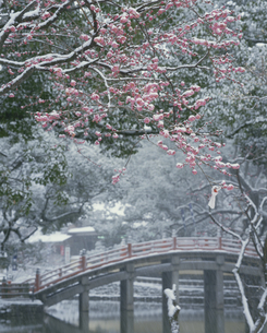 雪の積もる梅と赤い橋  太宰府天満宮 福岡県の写真素材 [FYI03188850]