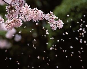 花吹雪の写真素材 [FYI03188944]