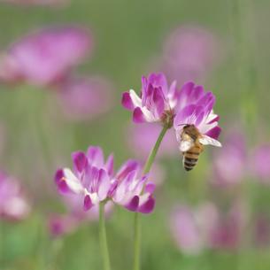 レンゲの花にとまる蜜蜂の写真素材 [FYI03188946]
