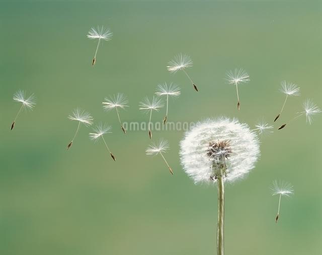 タンポポの綿毛の写真素材 [FYI03188955]