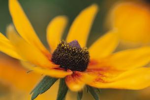 1輪の野花(オオハンゴンソウ)の写真素材 [FYI03189027]