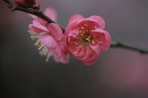 春の2輪の紅梅(ピンク) 埼玉県の写真素材 [FYI03189035]