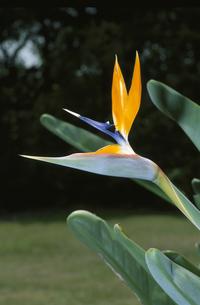 ゴクラクチョウ花の写真素材 [FYI03189403]