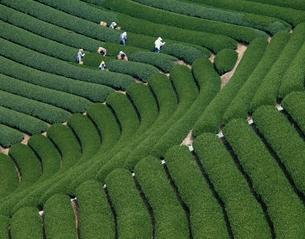 茶摘み   静岡県の写真素材 [FYI03189650]